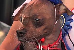 Mugly - World's Ugliest Dog 2012