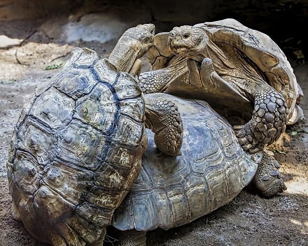 Burmese land tortoises