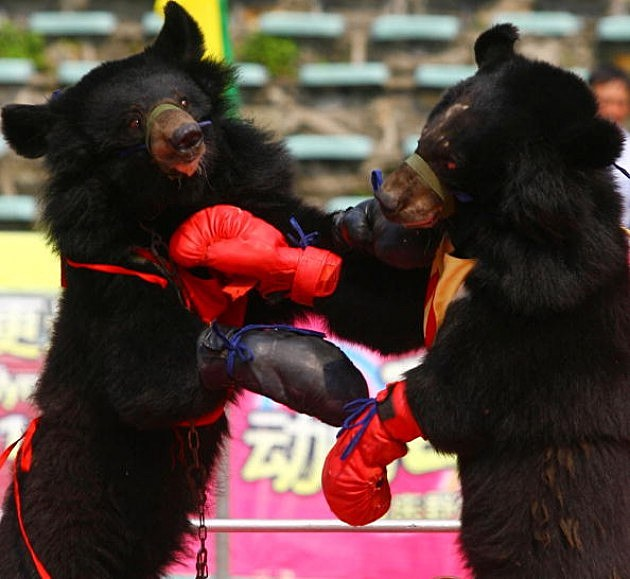 Chinese Black Bears