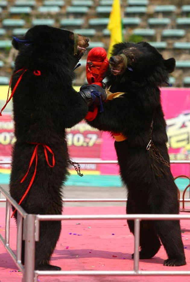 Black Bears Boxing