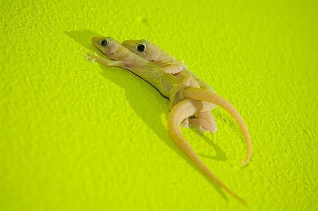 Indo-Pacific Geckos